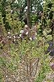Salvia africana kz1.jpg