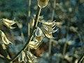 Salvia sclarea 2019-12-13 5783.jpg