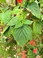 Salvia splendens-scarlet sage, tropical sage.jpg