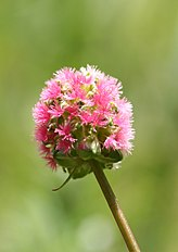 Sanguisorba minor-01 (xndr).jpg