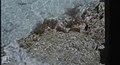 Sargassum. West Bay. Little San Salvador. (24005300577).jpg