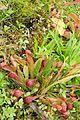 Sarracenia psittacina kz2.jpg