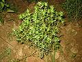 Satureja hortensis bgiu.jpg