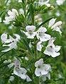 Satureja montana Cząber górski flower.jpg
