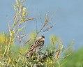 Savannah Sparrow (Passerculus sandwichensis) (36402409076).jpg