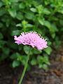 Scabiosa columbaria 'Pink Mist', duifkruid 02.JPG