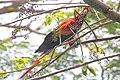 Scarlet Macaw CR (Ara macao) (5771850313).jpg