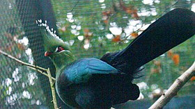 Schalow's turaco at Birdworld 11.jpg