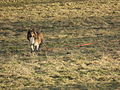 Schleppleine Shetland Sheepdog.JPG