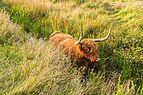 Schotse Hooglander zoekt verkoeling in het water. Locatie, natuurgebied Delleboersterheide – Catspoele 04.jpg