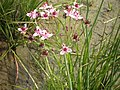 "Schwanenblume, Butomus umbellatus (""Seesternchen"") - panoramio.jpg"