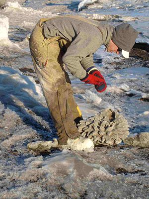 Anchor ice - A scientist investigating a sponge on the surface of the Western McMurdo Shelf, McMurdo Sound, Antarctica