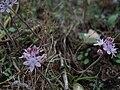 Scilla autumnalis Anafi.JPG