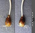Scilla vindobonensis sl21.jpg