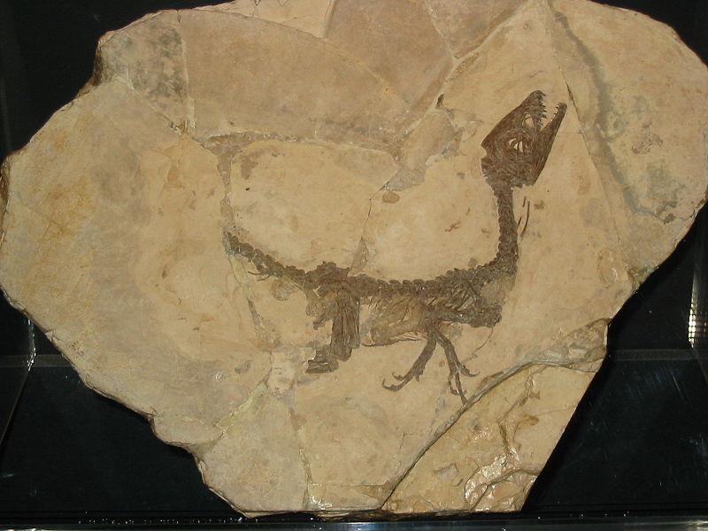 File:Scipionyx Samniticus.jpg