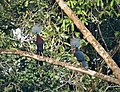 Sclater's Crowned Pigeon Goura sclaterii (48749908111).jpg