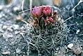 Sclerocactus wetlandicus fh 69 95 5 UT B.jpg