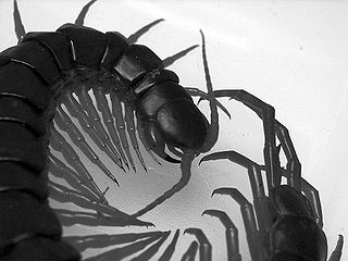 Giant Centipedes - My Experiences with Centipede Bites and Behavior
