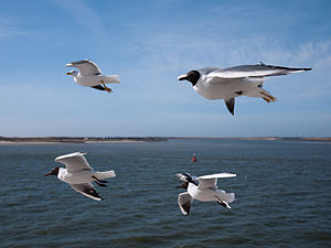 English: Sea gulls in flight over the Dutch Wa...