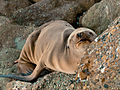 Sea Lion basking.jpg