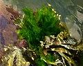 Sea lettuce in Brofjorden 1.jpg