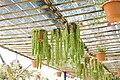 Sedum morganianum (2).jpg