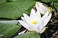 Seerosen im Spreewald - Flickr - blumenbiene.jpg