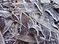 Segonzano, loc Paludi - Brina sulle foglie 01.jpg