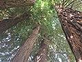 Sequoia sempervirens - Burcina.jpg