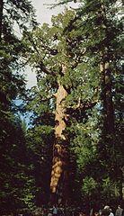Sequoiadendron giganteum 4.jpg
