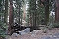 Sequoya National forest Giant Forest en2016 (14).JPG