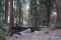Sequoya National forest Giant Forest en2016 (14).JPG