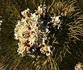 Serruria glomerata Rebelo 1.jpg