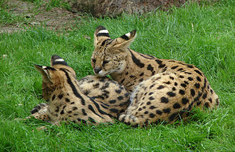 Serval - Two young servals