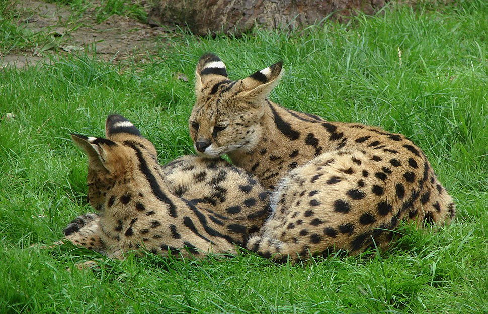 Servals Thoiry 19801