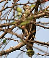 Shikra (Accipiter badius) in Hyderabad W IMG 7165.jpg