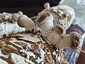 Shitake Mushroom.jpg