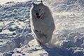 Sii - Samoyed in Snow.jpg