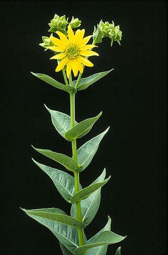 Silphium (genus) - Image: Silphium integrifolium