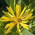 Silphium perfoliatum A.jpg