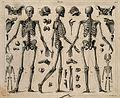 Skeletons and miscellaneous bones, including the skeleton of Wellcome V0008466.jpg
