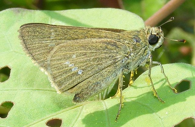 File:Skipper butterfly carrying a load of pollen grains..jpg - Wikimedia Commons