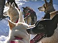 Sled dogs in Quebec -a.jpg