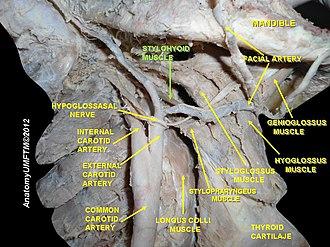 Stylohyoid muscle - Image: Slide 18aaa