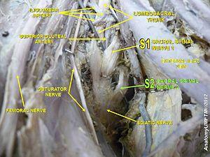 Sacral spinal nerve 2 - Image: Slide 6z