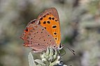 Small copper (Lycaena phlaeas) underside Bulgaria.jpg