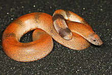 Smooth-scaled Indian Sand Boa (Eryx johnii).JPG