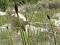 Smooth scouring rush, Equisetum laevigatum (39154875554).jpg