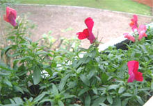 Snapdragon, small.JPG