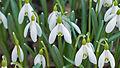Snow Drop Flower 3309.jpg